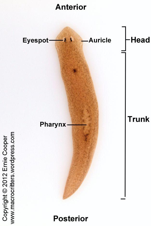 Caracteristicile structurale ale tabelului de viermi ciliari. Clasa viermi ciliari sau turbellaria