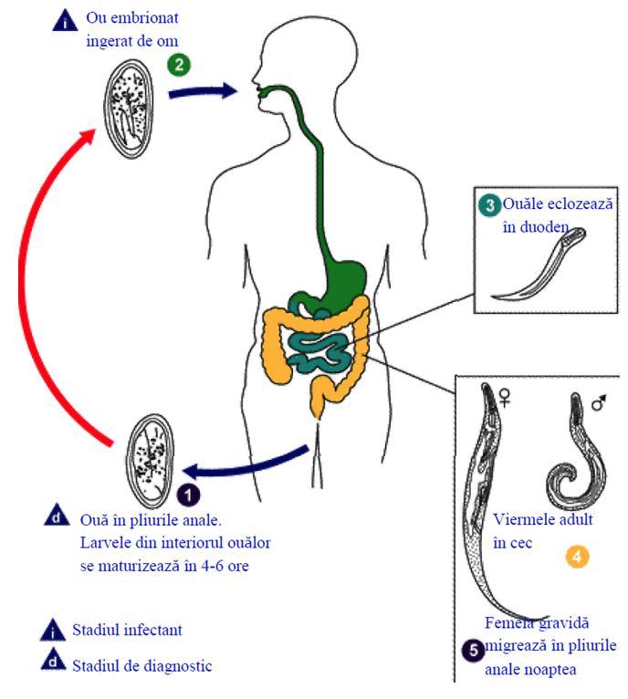 Viermii acțiunii umane, Viermii și paraziții intestinali