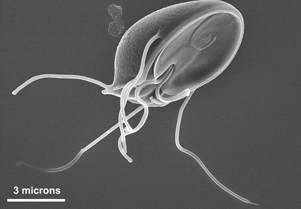 protozoare giardia