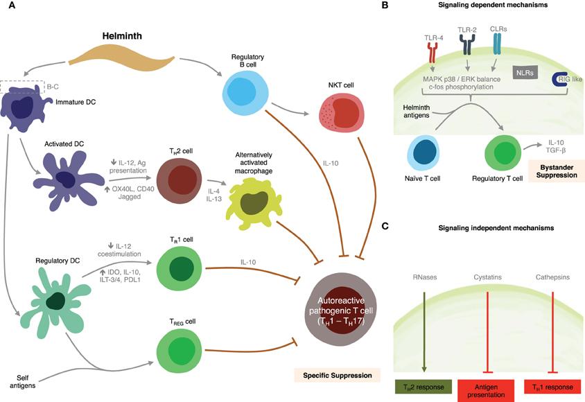 helminth immune modulation)