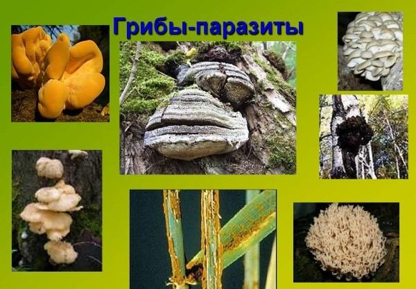 hrănindu se cu ciuperci parazite