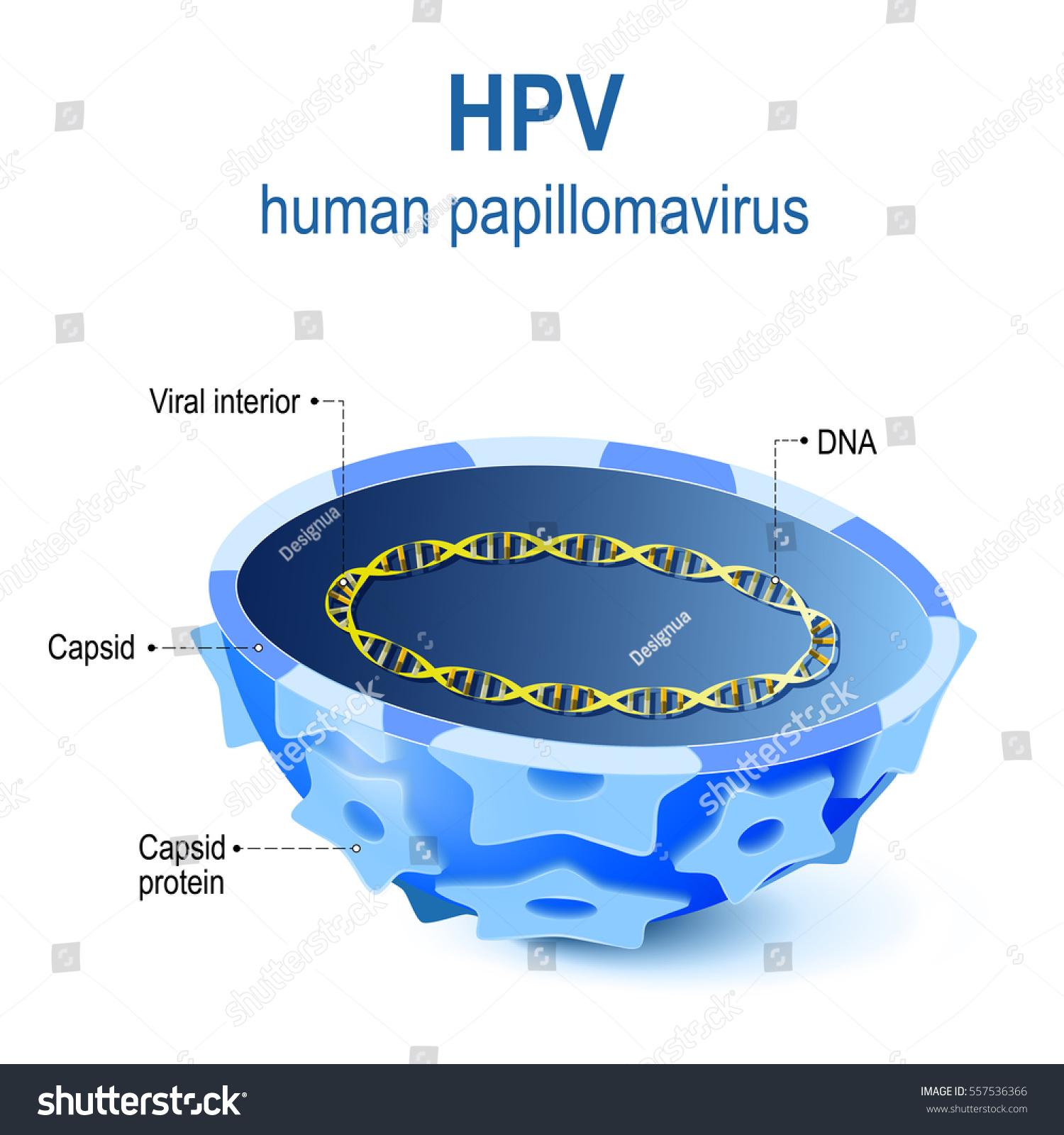 hpv virus diagram medicamente pentru helminti pentru copii