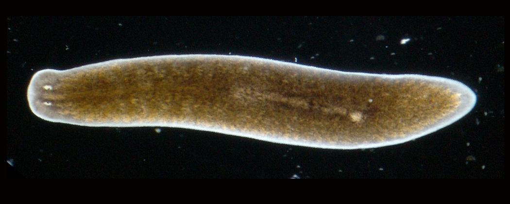 platyhelminthes turbellaria planaria)