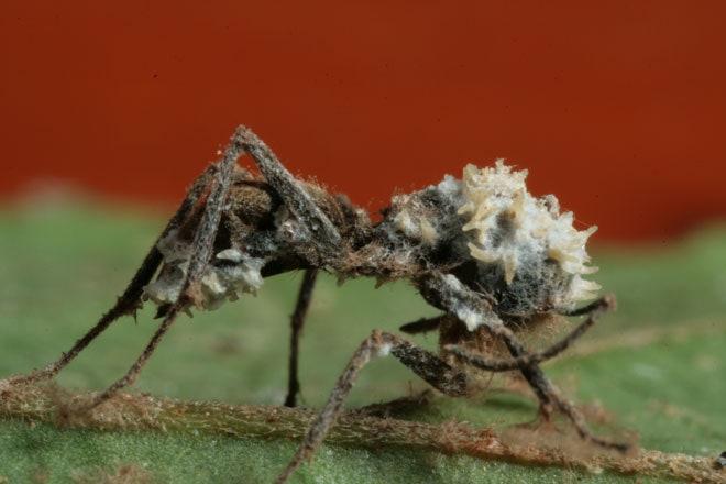hiperparazite fungice)