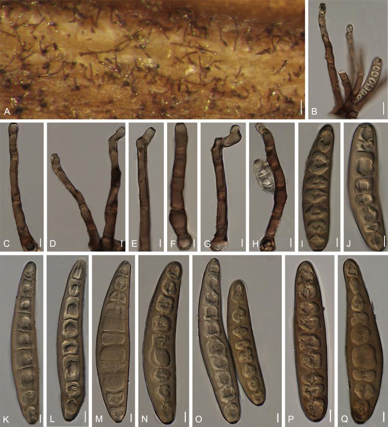 nodulosum helminthosporium)