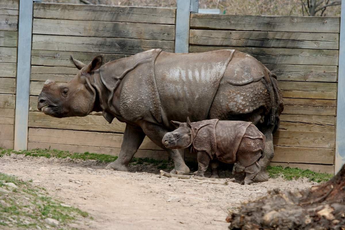 lungimea rinocerului)