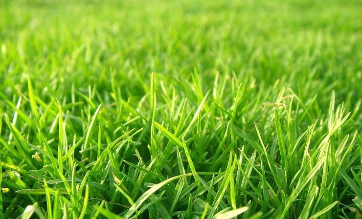 iarbă împotriva ciupercii de vierme