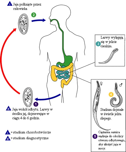 Human papillomavirus bumps. hhh   Cervical Cancer   Oral Sex