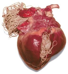 simptome și tratament viermilor inimii papillomatosis confluent et reticularis