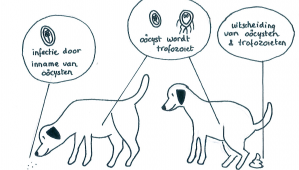 giardia parasiet hond comportament