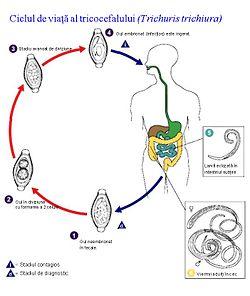 diagrama ciclului de viață a nematozilor umani)
