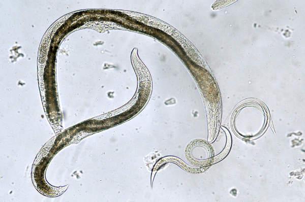 ce tipuri de viermi sunt vierme