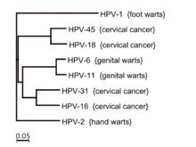 hpv type 16 cause warts