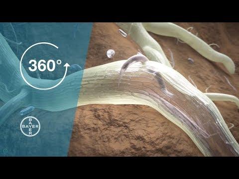 tratament eficient cu vierme rotunde