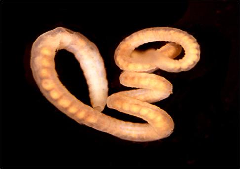 simptome de viermă de vierme