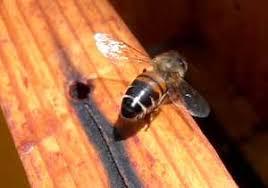 boli de albine și paraziți