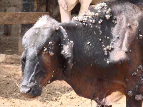 Papilomatosis o verruga bovina. Papilomatosis bovina zoonosis - expert-evaluator-de-risc.ro