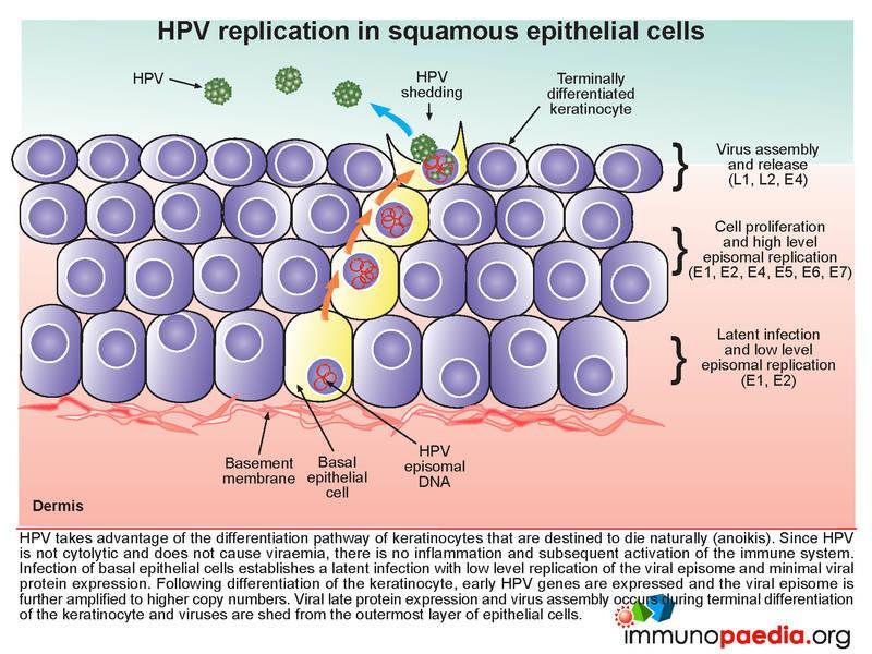 pathogenesis of human papillomavirus)