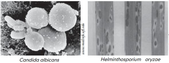 jamur helminthosporium sp)