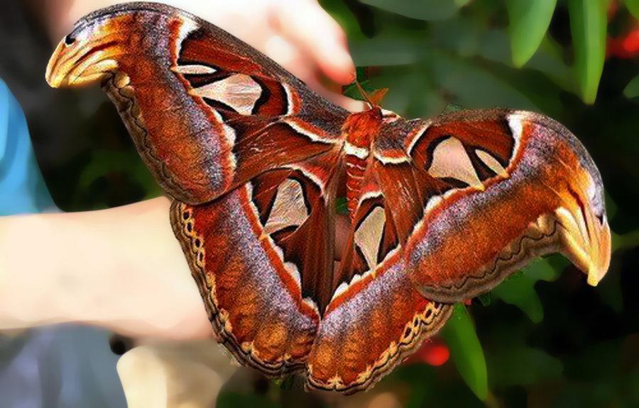 Etichetă: cea mai mare insectă