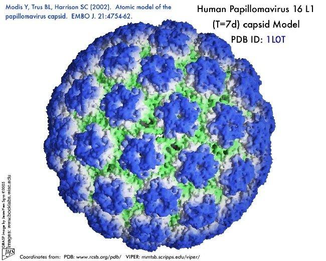 papilloma virus hpv 16)