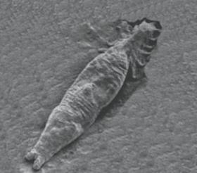 specii de gen platyhelminthes)