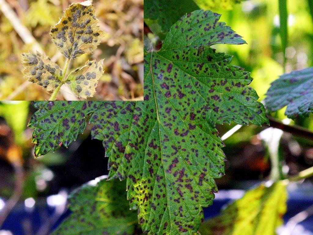 loc de frunze complex helmintosporium
