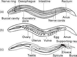 Taxonomie platyhelminth Vierme - Pagini [9] - Lume cunoștințe enciclopedice