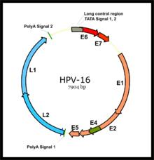 human papillomavirus infection incubation period)
