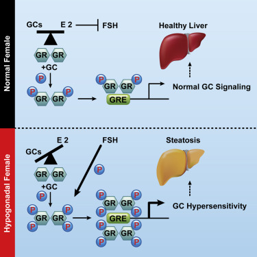 hepatic cancer estrogen)
