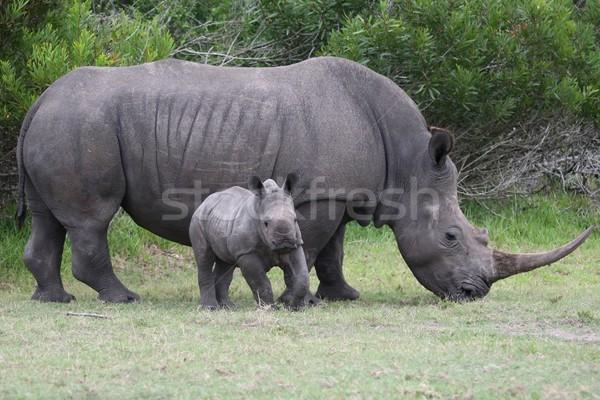 rinocer cu copil)