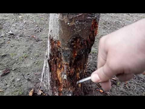 viermi de pin în colon)