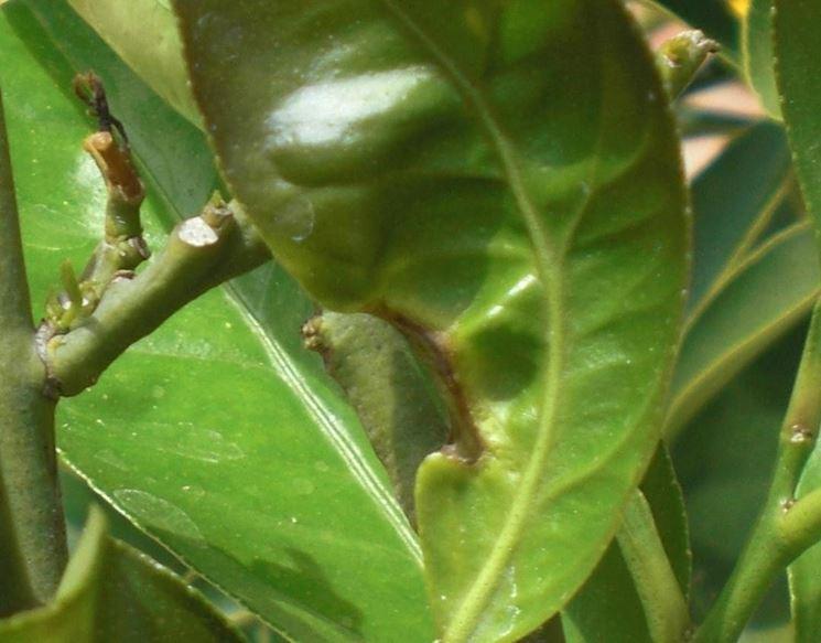 comuni parassiti delle piante da appartamento