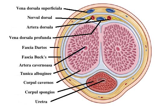 condiloame în deschiderea externă a uretrei)
