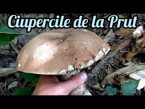 hrănindu se cu ciuperci parazite)