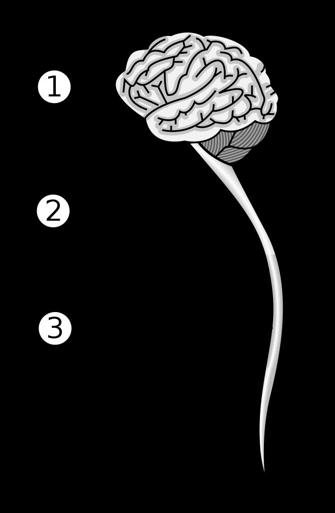 sistemul nervos de vierme