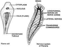 Phylum info-tecuci.ro5f Phylum platyhelminthes nematoda annelida