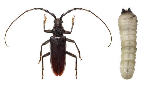 insecte parazite bois