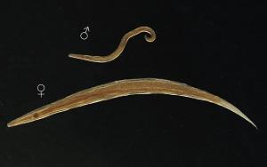 Cât timp merg pinworms
