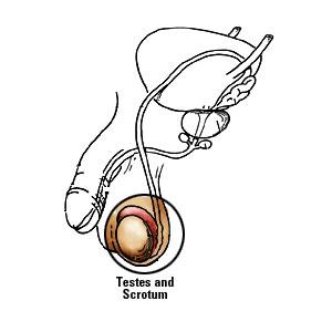 papilom testicular)