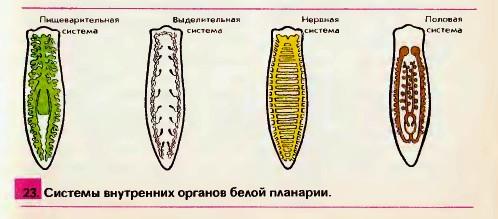 viermi albi în îngrijirea copiilor)