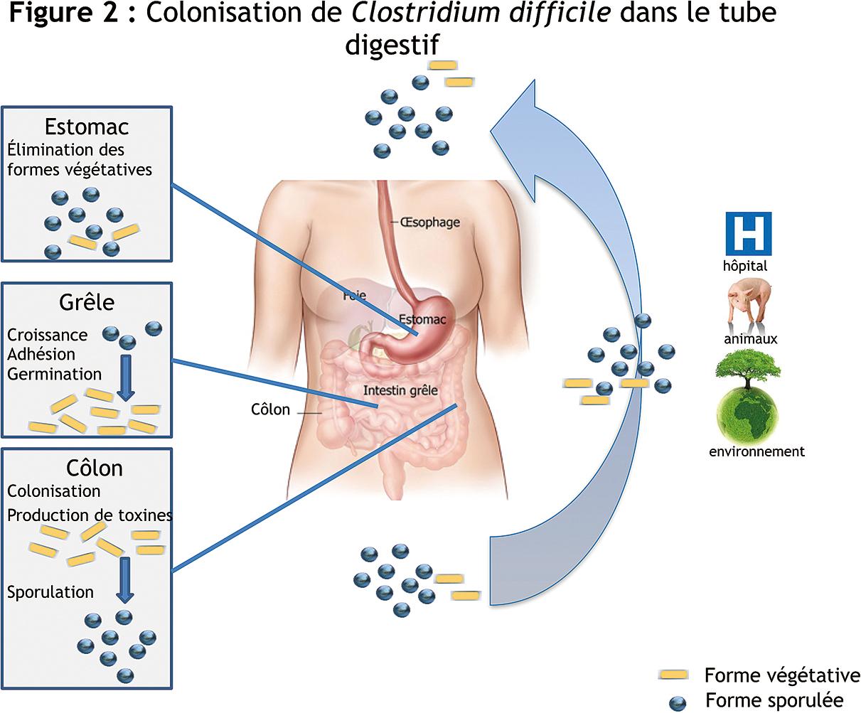 toxine a clostridium difficile