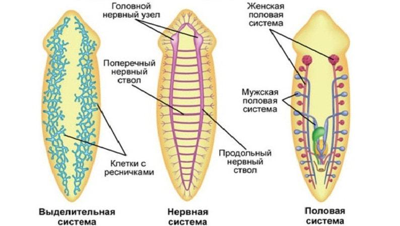 Vierme rotunde, ce e scurt. Parazitul pică din viermi