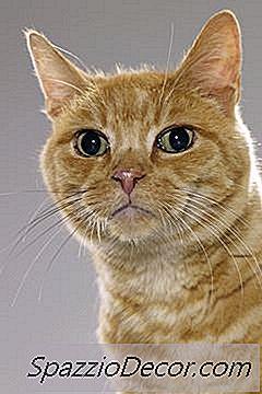 papiloma virus gatos)