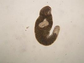 Plathelminthen und nematoden - 4 Plathelminthes