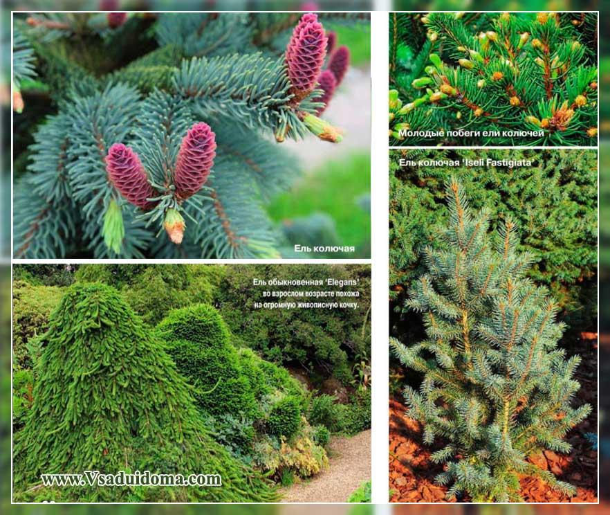 Spruce canadian Alberta Globe. Molid canadian, plantare și îngrijire