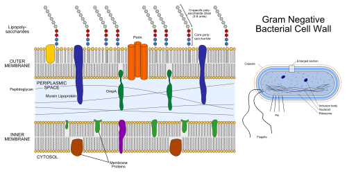 bacterii gram