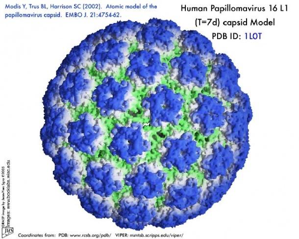 virus of papilloma human)