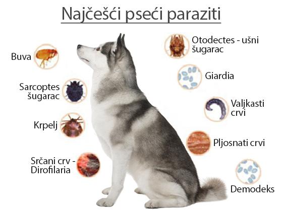 Giardia parazit kod pasa, Giardia parazit kod pasa