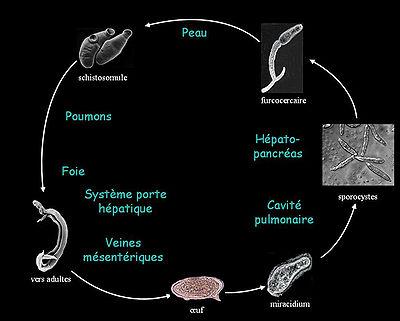 schistosomiasis bilharziose)